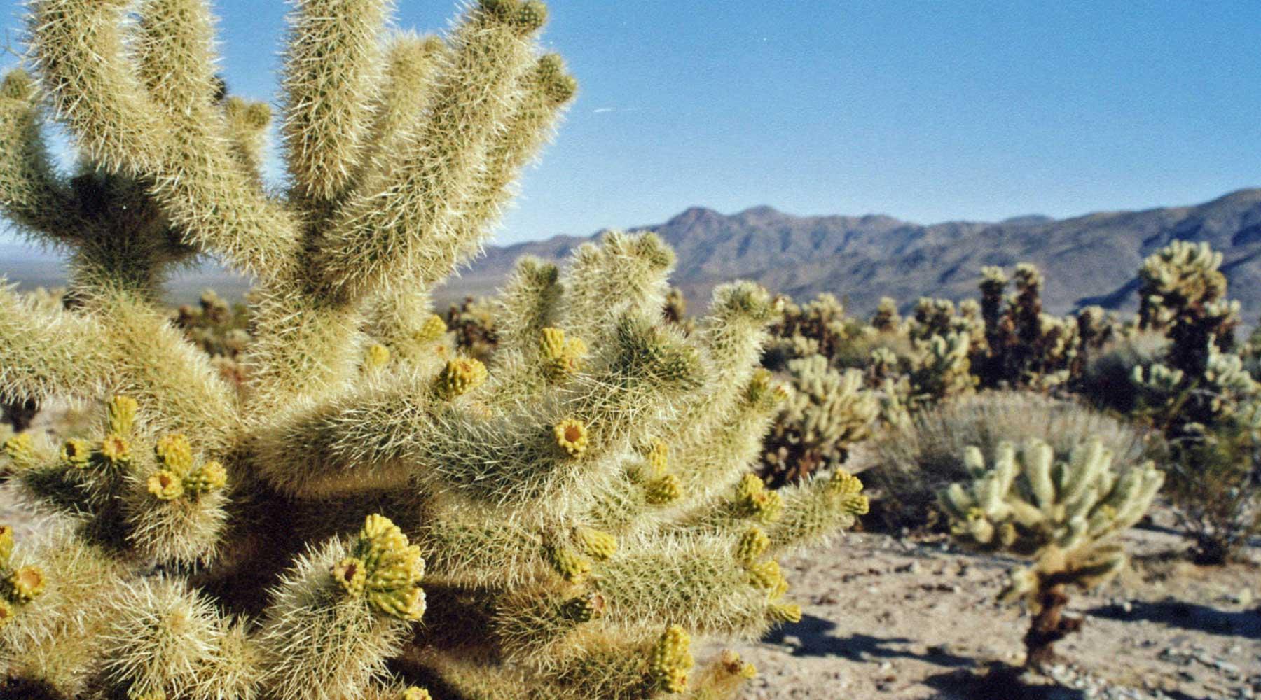 Joshua tree, chinook voyages, aventure, randonnée, trek, déserts, ouest américain, death valley en randonnée