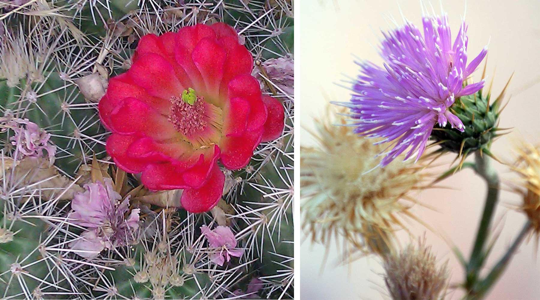 floraison des cactus, Joshua tree, chinook voyages, aventure, randonnée, trek, déserts, ouest américain, death valley en randonnée