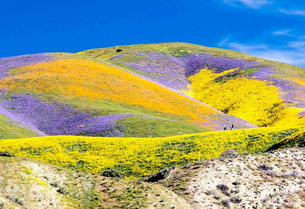 death valley - cactus blooming - cactus en fleurs - californie en randonnée - randonnée pédestre - voyage de randonnée