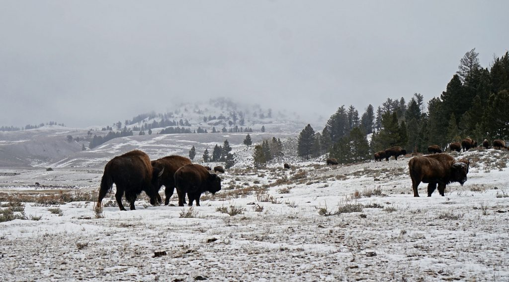parc national - yellowstone - chinook aventure - voyage raquette - voyage d'aventure - voyage hiver - randonnée hivernale - rocheuses américaines - bison