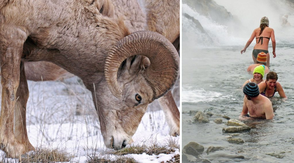parc national - yellowstone - chinook aventure - voyage raquette - voyage d'aventure - voyage hiver - randonnée hivernale - rocheuses américaines - bouc